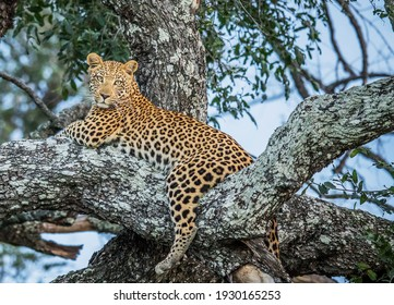 A selective focus shot of an African leopard laying on the tree