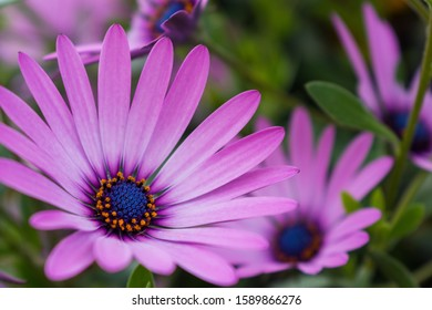 A selective focus shot of beautiful pink African daisies on blurred background