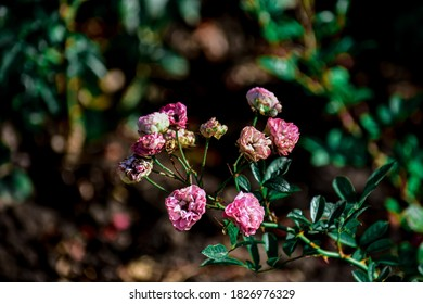 A selective focus shot of pink Multiflora roses in a park
