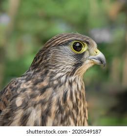 A selective focus shot of a Sharp-shinned hawk portrait