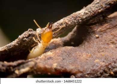Selective focus of the small termite on decaying timber. The termite on the ground is searching for food to feed the larvae in the cavity.