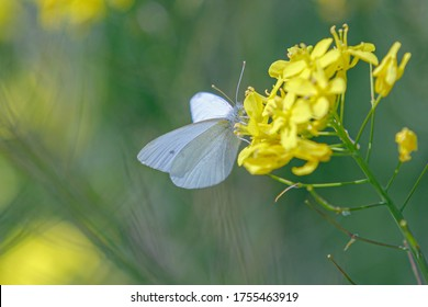 Selective focus of small white butterfly sucking pollen from yellow flowers of Rapeseed, Oilseed rape or White mustard (Sinapis alba) is an annual plant of the family Brassicaceae, Nature background.
