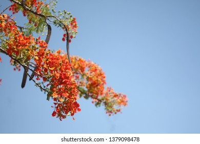 """Selective focus at a stunning red flowers named Royal Poinciana, Flamboyant, Flame of the forest, or """"Flame Tree"""" Scientific name: Delonix Regia. It's such a beautiful sunny day."""