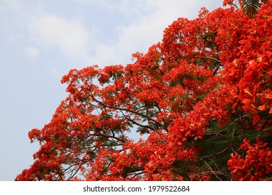 Selective focus at a stunning red flowers named Royal Poinciana, Flamboyant, Flame of the forest, or Flame Tree Scientific name: Delonix Regia. in thailand
