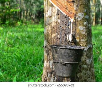Selective focus of tapping latex from rubber tree (Hevea Brasiliensis) at Malaysia.