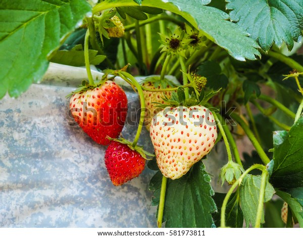 SELECTIVE FOCUS: three strawberry hanging from a stem