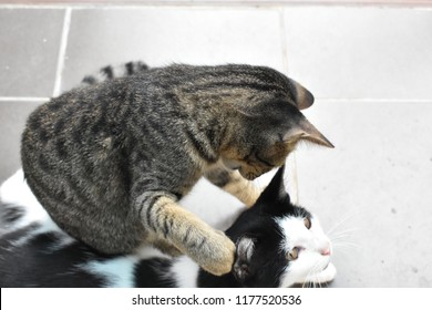 Selective focus top view image of two Thai cute cats playing on tile floor and grooming each other.