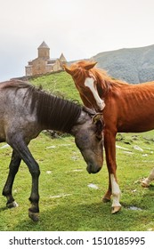 selective focus Two horses, red and gray, communicate, hug and itch in friendship against the background of green hills and mountains in Georgia near Gergeti Church