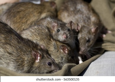 Selective focus view of a group of brown norway wild rats with black eyes and glossy fur