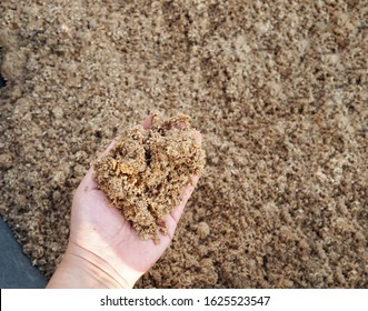 Selective focus wet malt by product after beer malt fermentation on woman hand before process to be animal feed, rich of nutrition and fiber