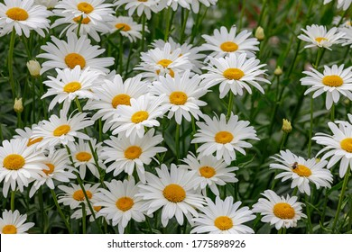 Selective focus of white flowers Leucanthemum maximum in the garden, Shasta daisy is a commonly grown flowering herbaceous perennial plant with the classic daisy appearance, Nature floral background.