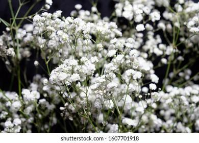 Selective focus. White gypsophila flowers. Twigs of gypsophila on a black background.