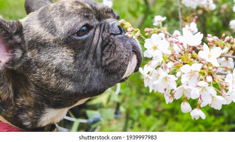 Selective focused of brindle French bulldog face while smelling Sakura flower, dog outdoor portrait