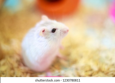 157a737ed09 Selective focused Cute Exotic Winter White Dwarf Hamster standing two legs  begging for pet food with