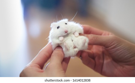 Selective Focused on Cute Little Exotic Female Winter White Dwarf Hamster receiving massage from owner. Pets health care, Caring Tips for Young Hamsters and Human Friend concept.