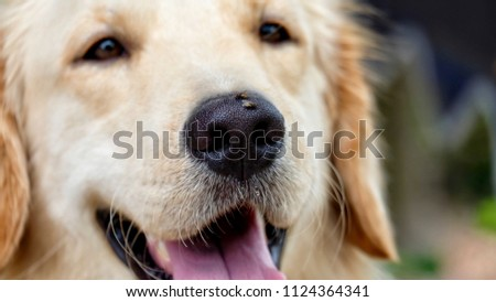 Selective Focused On Nose Adorable Golden Stock Photo Edit Now