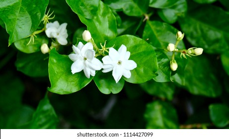 Selective focused on white jasmine flower with green leave jasmine tree background, simbol of mother's day in Thailand.