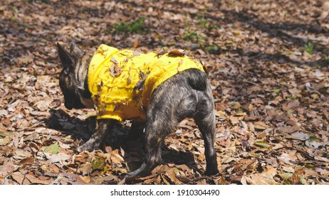 Selective focused photo of brindle French bulldog playing on dry leaves land , backside of small black dog at the park ,dog outdoor concept