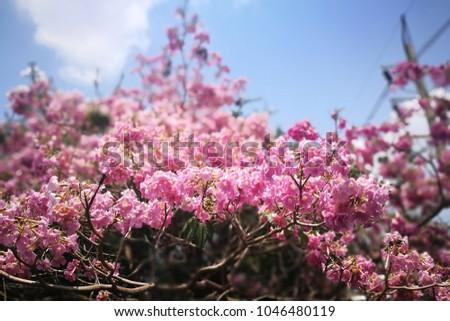 Selective focusing frilly pink tabebuia tree stock photo edit now selective focusing of frilly pink tabebuia tree in full bloom bell shaped trumpet flowers mightylinksfo