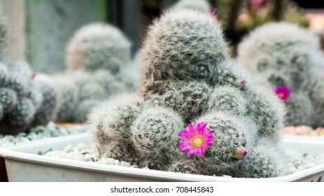 Selective focusing little pink flower on (mammillaria) cactus in flower pot.