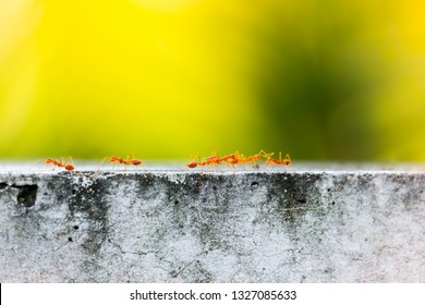 Selective focus,Weaver ant (Oecophylla smaragdina) teamwork on the cement wall  blurred nature background