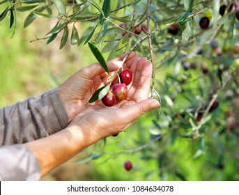 Selective harvest of olives in the olive tree by hand, spanish quality