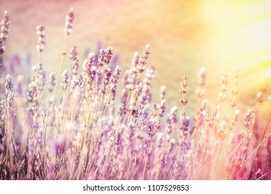 Selective and soft focus on lavender flower, beautiful lavender in flower garden lit by sunlight