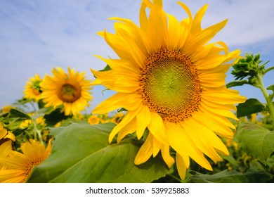 Selective and Soft focus. Sunflowers field with lighting flare effect.