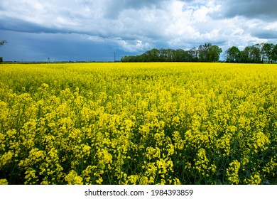 a selective vertical shot of a rape bloomig over the field in a nice village - Shutterstock ID 1984393859
