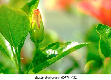 Selectived focus  image in pink hibiscus's bud ; Hibiscus boryanus DC or Hibiscus festalis Salisb or Hibiscus storckii Seem.