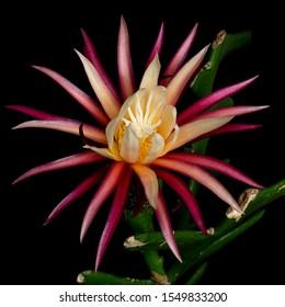 Selenicereus Anthonyanus cactus (popularly known as fishbone or zig-zag cactus) flower closeup macro on black background