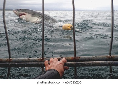 self image view out of the shark cage to a white shark