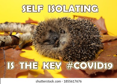 self isolating hedgehog with covid19 hashtag
