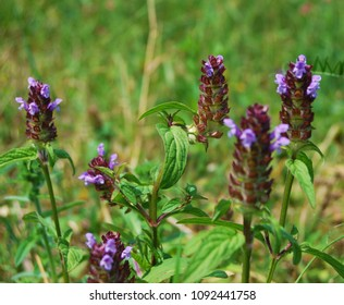 Selfheal flower, Prunella vulgaris close up