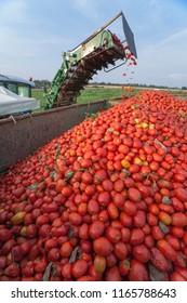 Self-propelled tomato harvester at work. Conveyor belt detail loading trailer