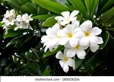 Semboja (Plumeria) is a group of plants in the genus Plumeria.