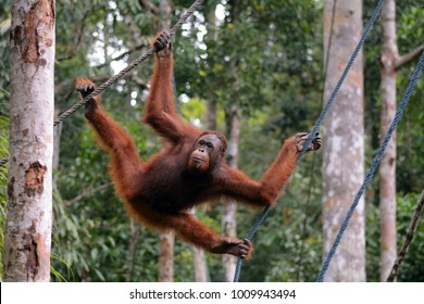 SEMENGGOH, MALAYSIA - DECEMBER 31: Borneo orangutan on 31 December 2017 at Semenggoh. Semenggoh is a rehabilitation center for orphaned and injured orangutans.