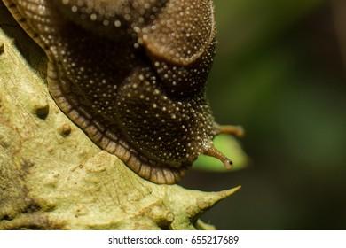 semi slug