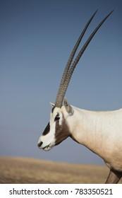 Semi wild or feral Arabian Oryx at sunset in the Arabian desert near Dubai in the UAE