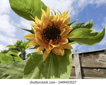 A semi-furled sunflower next to a brown fence growing  in the partial sunshine