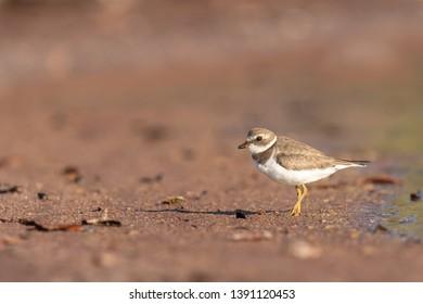 Semipalmated Plover (Charadrius semipalmatus) - Red Sand