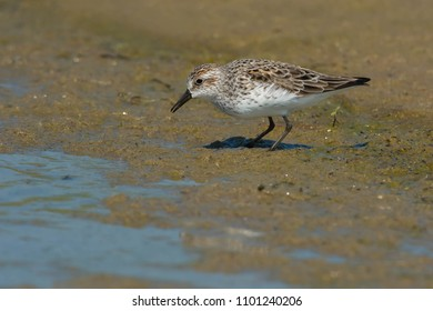 Semipalmated Sandpiper standing in the mud at the edge of the water looking for a meal. Ashbridges Bay Park, Toronto, Ontario, Canada.