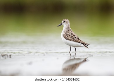 A Semi-palmated Sandpiper wades in the shallow water in soft overcast light with a smooth green background and its reflection