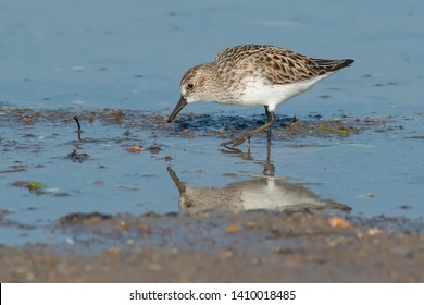 Semipalmated Sandpiper walking in the shallow water head down looking for a meal. Ashbridges Bay Park, Toronto, Ontario, Canada.