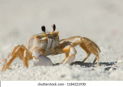 A semiterrestrial ghost crab (Ocypodinae arthropods) walks through the sand along Wiggins Pass, Florida. It is also sometimes known as a sand crab.