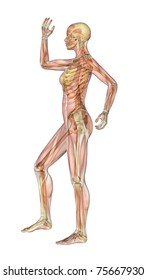 Semi-transparent image of a woman standing sideways, with her arm and leg bent - showing the skeleton with a semitransparent overlay of the muscles. 3D render.