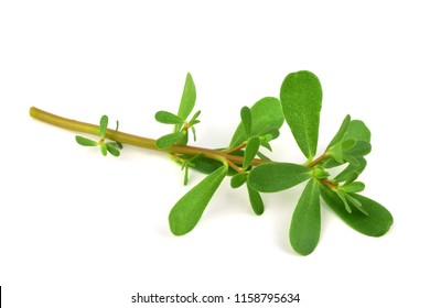Semizotu or Purslane Traditional European, French, Mexican, Asian and Turkish Salad Snack. Also Wild Portulaca Oleracea, Common Purslane, Verdolaga, Red Root, Pursley. Isolated on White Background.