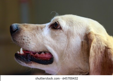 Semper fidelis. Side view of yellow labrador dog looking at its owner