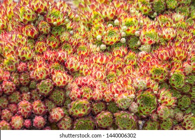 Sempervivum globiferum. Houseleek, Hen and Chicks. Crassulaceae, Sedoideae, Sedeae, Sedinae, Sempervivum. Spring, summer flowering. Leaves are green, tipped with red.