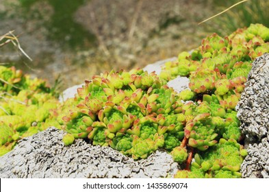 Sempervivum montanum - Mountain houseleek